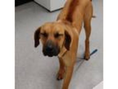 Adopt The Goose 19-05-129 a Black Mouth Cur / Hound (Unknown Type) dog in