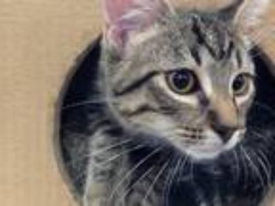 Adopt Cuatro a Tan or Fawn Tabby Domestic Shorthair (short coat) cat in Green