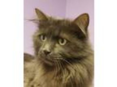 Adopt Kool Keith a Domestic Long Hair