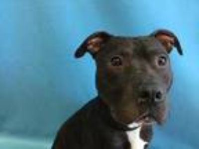 Adopt 41958851 a Black American Pit Bull Terrier / Mixed dog in St.