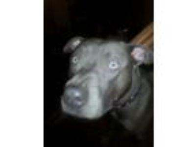 Adopt Blu Boi a Gray/Blue/Silver/Salt & Pepper Bull Terrier dog in Montrose