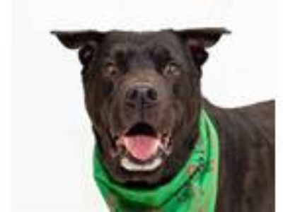 Adopt MAX a Black - with White Labrador Retriever / Mixed dog in Orlando
