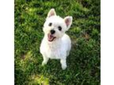 Adopt Chipper a White Schnauzer (Miniature) / Poodle (Toy or Tea Cup) / Mixed