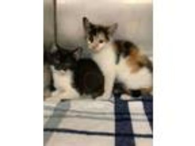 Adopt 5 new kittens a Domestic Short Hair