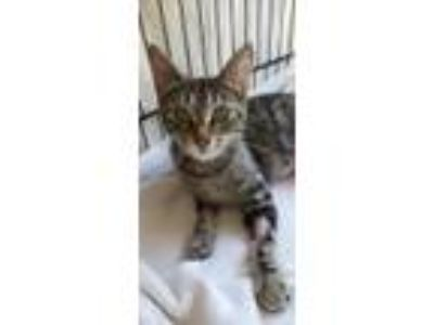 Adopt Susie a Brown Tabby Domestic Shorthair / Mixed (short coat) cat in Salem