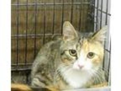 Adopt Annette and 5 kittens a Tan or Fawn Domestic Shorthair / Domestic