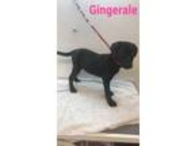 Adopt Gingerale a Black Labrador Retriever / Mixed dog in Grand Rapids