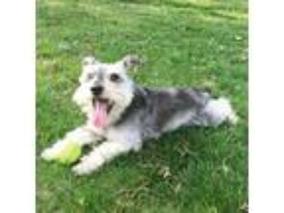 Adopt Laddie a Gray/Silver/Salt & Pepper - with Black Schnauzer (Miniature) /