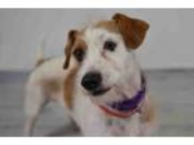 Adopt CLYDE a Parson Russell Terrier, Mixed Breed