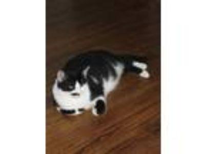 Adopt Stache a Black & White or Tuxedo Persian cat in Ramsey, IN (25543663)