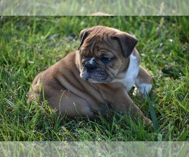 Bulldog PUPPY FOR SALE ADN-131261 - AKC English Bulldogs