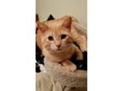 Adopt Nugget a Orange or Red (Mostly) Domestic Shorthair (short coat) cat in