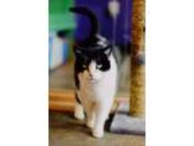 Adopt Holly a Black & White or Tuxedo Domestic Shorthair / Mixed cat in
