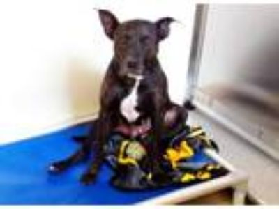 Adopt *HONEY a Brindle American Pit Bull Terrier / Mixed dog in Chapel Hill