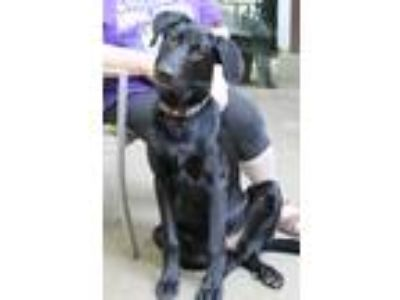 Adopt Baxter a Black Labrador Retriever / Mixed dog in Mohegan Lake