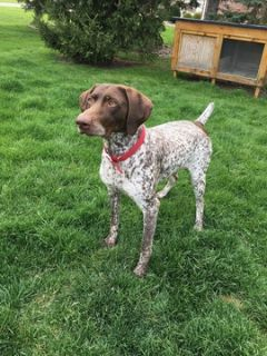 German Shorthaired Pointer PUPPY FOR SALE ADN-98445 - German Shorthair Pointer Pups
