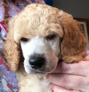 Exceptional AKC Standard Poodle Puppies Cream or Apricot Male Female