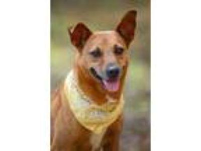 Adopt Cinnie a Australian Cattle Dog / Blue Heeler, Jack Russell Terrier
