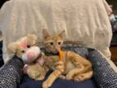 Adopt Spade a Orange or Red Tabby Domestic Shorthair (short coat) cat in