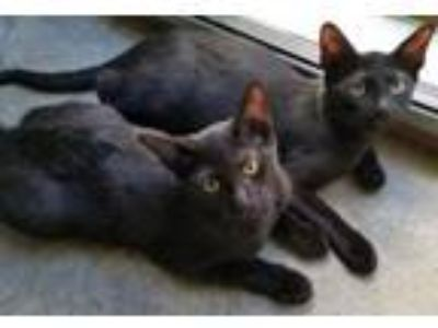 Adopt William and Harry a Domestic Short Hair