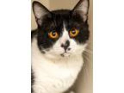 Adopt VALENTINO a Domestic Shorthair / Mixed (short coat) cat in Redwood City