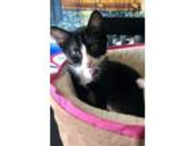 Adopt Bebe a Black & White or Tuxedo Domestic Shorthair cat in Dallas