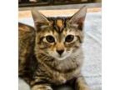 Adopt Dottie a All Black Domestic Shorthair / Domestic Shorthair / Mixed cat in