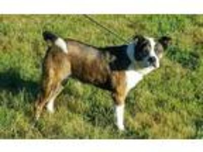 Adopt Jacob a Brindle - with White Boston Terrier / Mixed dog in Cameron