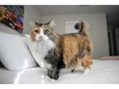 Adopt Merry *Bonded Pair* - Athens, GA a Maine Coon, Domestic Long Hair