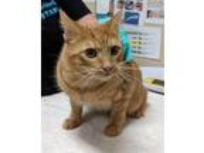 Adopt Toby a Domestic Shorthair / Mixed cat in Oceanside, CA (25867467)