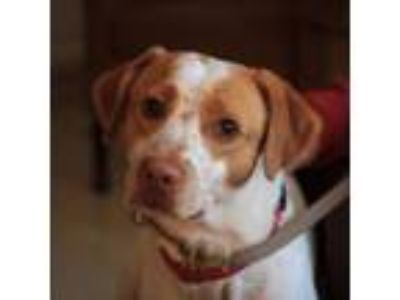Adopt Boomer - Adoption Pending a Brittany Spaniel, Pointer