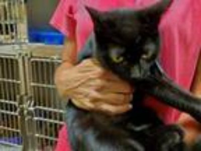 Adopt Rainbow a Domestic Short Hair