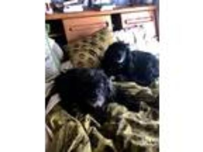 Adopt Peppers a Black Poodle (Miniature) / Mixed dog in San Pablo, CA (24841660)