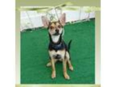 Adopt LUCKY a Miniature Pinscher, Rat Terrier
