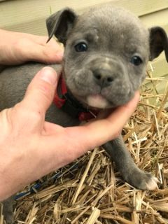 Olde English Bulldogge PUPPY FOR SALE ADN-105291 - Sullivans Baby Bulldogges