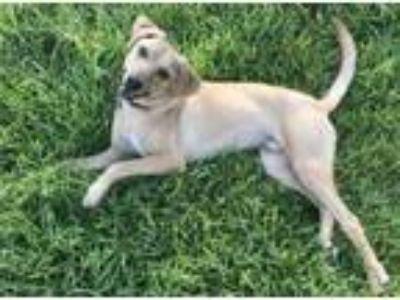 Adopt Mork a Hound, Labrador Retriever