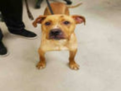 Adopt a Tan/Yellow/Fawn American Pit Bull Terrier / Mixed dog in Rockford