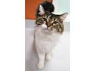Adopt Glenda a Domestic Long Hair