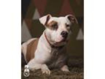 Adopt Doc a Pit Bull Terrier