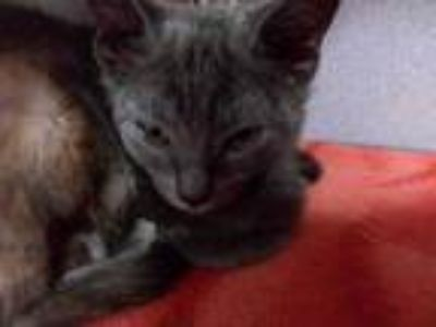 Adopt TC a Gray or Blue Domestic Shorthair / Domestic Shorthair / Mixed cat in