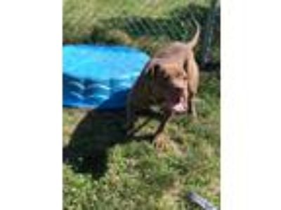 Adopt Nadia a Pit Bull Terrier / Mixed dog in Vineland, NJ (25423019)