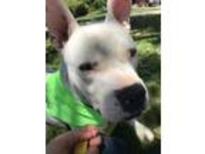 Adopt Hank a White American Pit Bull Terrier / Mixed dog in Sacramento