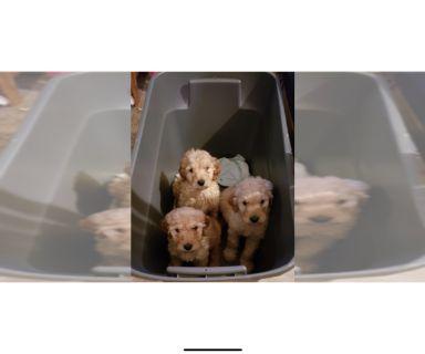 Puppy For Sale Classified Ads In Inkster Michigan Clazorg
