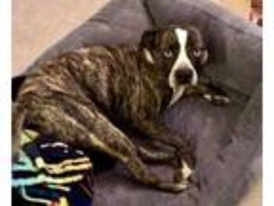 Adopt Archie a Boston Terrier / Australian Shepherd / Mixed dog in Pittsburgh