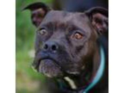 Adopt Willadeen a Staffordshire Bull Terrier