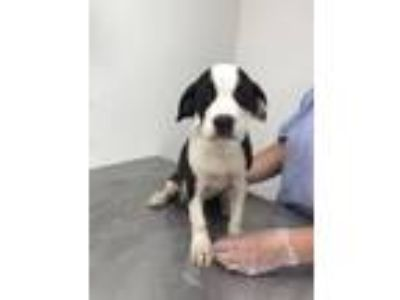 Adopt Wrigley a Boston Terrier, Schnauzer