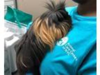 Adopt Edie a Guinea Pig small animal in Brooklyn, NY (25635424)