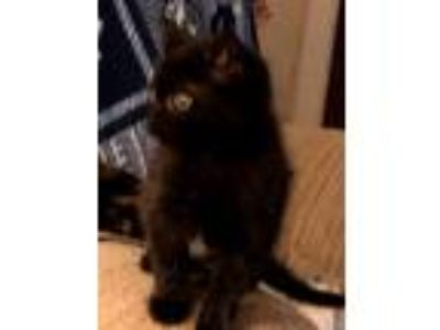 Adopt Tiny Terry a Black (Mostly) Domestic Shorthair (short coat) cat in High