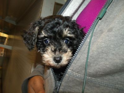 Schnoodle (Miniature) PUPPY FOR SALE ADN-113355 - Snoodle the Schnoodle