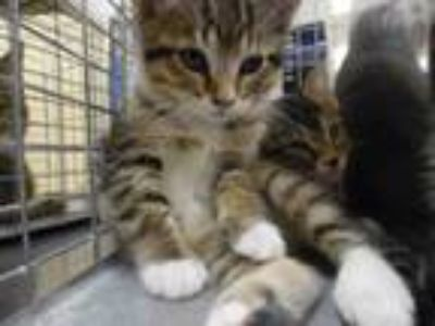 Adopt DUKE a Domestic Short Hair